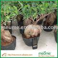 Ficus Microcarpa árbol ( árbol de hoja perenne ) Bonsai