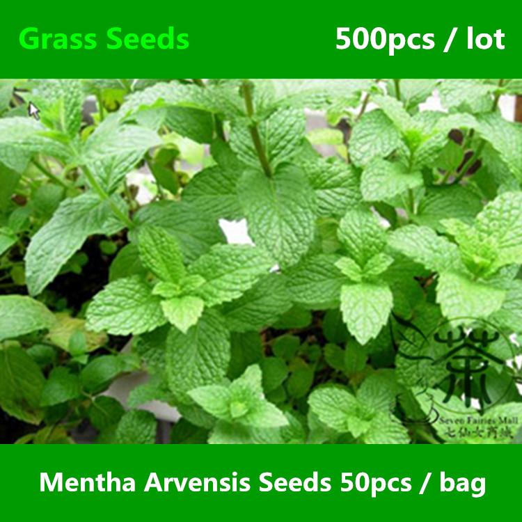 Mentha Arvensis Plants How to Plant Wild Mint Mentha