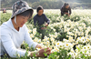 organic hangzhou chrysanthemum teabag ,organic hangzhou blooming chrysanthemum teabag organic white honey chrysanthemum t
