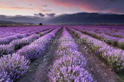 LAVENDER ESSENTIAL OIL FOR PERFUME MANUFACTURERS