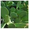 Supply chinese prickly pear,chinese prickly pear extract,chinese prickly pear