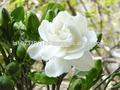 De flores frescas/de flor de jazmín/blanco fresco de flores de jazmín