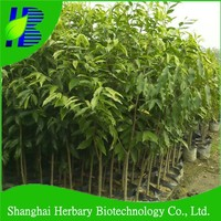 Bulk Agarwood tree seeds with highest germination rate