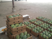 Import Pakistani Mangoes to USA