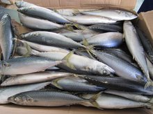 Seafood Frozen HORSE mackerel