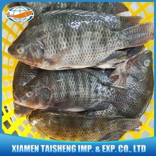 Frozen Tilapia Whole Fish 500-800g with 12 Years Experience
