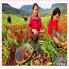 buy yellow ginger powder/dried ginger price in china