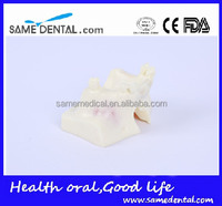 Dental models sinus lift practice model DEA-23