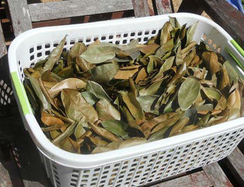 Guanábana hojas secas