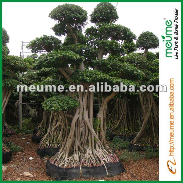 large outdoor bonsai trees live ficus tree banyan tree