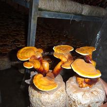 Growing Reishi Mushroom Dried Reishi Mushroom, Mushroom lingzhi, Ganoderma Lucidum Extract