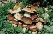 Italian Porcini mushroom