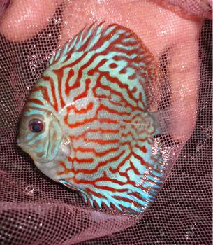 Discus fish buy discus fish product on for Discus fish price