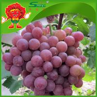 Chinese fresh fruit organic purple grape