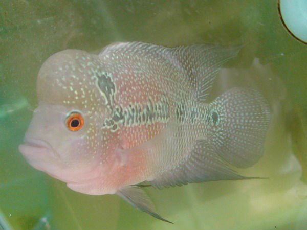 Albino flower horn fish buy freshwater fish product on for Flower horn fish price