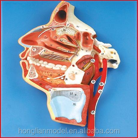 Gd / A18108 boca, nariz, faringe y laringe con buques los nervios ( modelo médico, modelo anatómico )