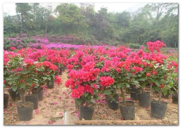 Beautiful Flower Trees Bougainvillea Glabra Choisy Lesser