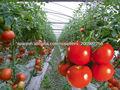 Huahong semillas de tomates rojos híbridos f1 indeterminados, y 200 gramos forma redonda