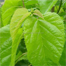 Factory direct supply matural and pure Mulberry Leaf Plant Extract Mulberry Flavonoids10% 20%