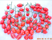 """HongManLi"" hybrid F1 cherry tomato seeds in vegetable seeds"