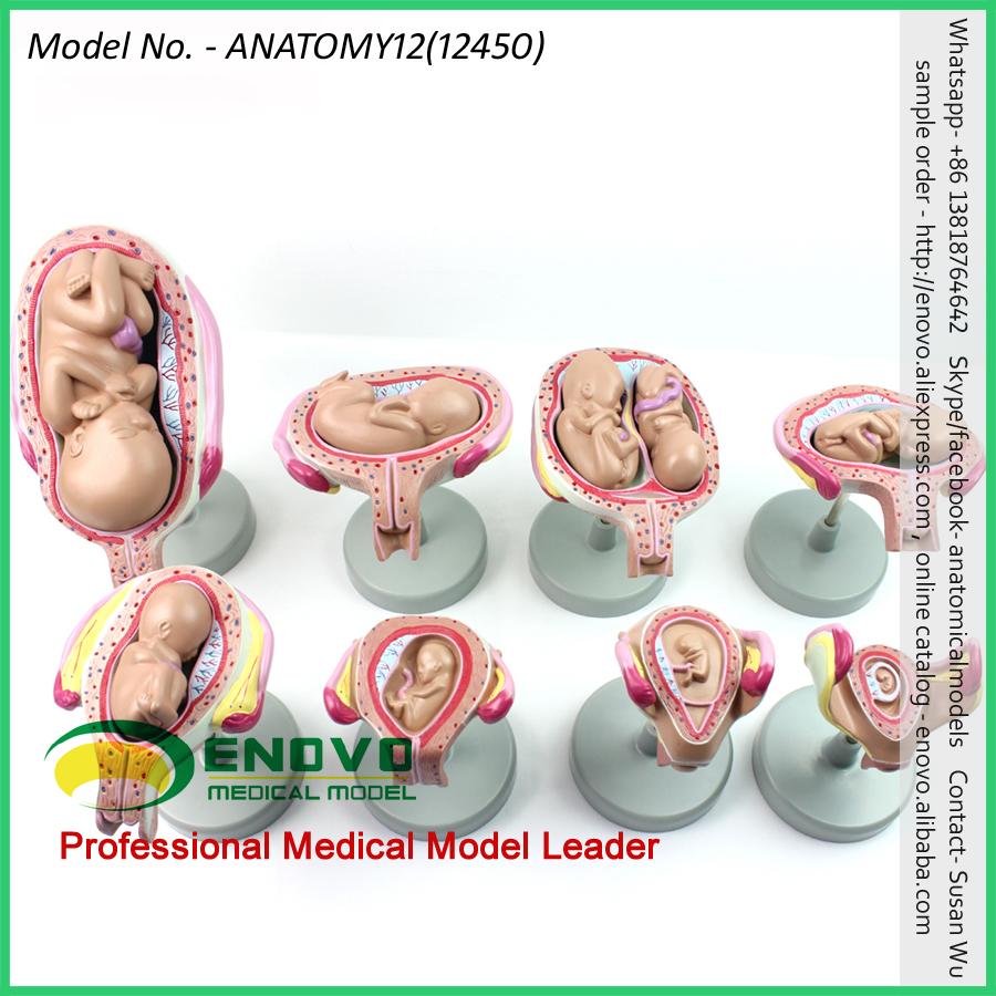 Vender 12450 clásico embarazo 8-modelo de serie anatomía mujer ...
