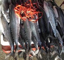 spanish mackerel and yellow fin tuna