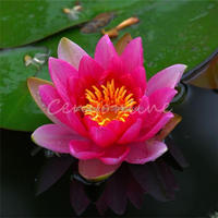 New 10Pcs/Bag RED LOTUS Nymphaea Asian Water Lily Pad Flower Pond Seeds Outdoor Aequatic Plant Easy Grow