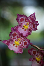 Orchid Zgd. Calico Gem Green Valley