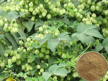 Export high quality with nice price branded hops flower plant extract