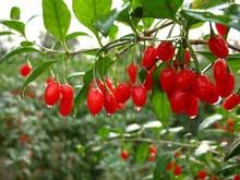 good quality low price organic goji berries