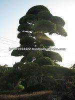Japanese trees and plants podocarpus macrophyllus , maki , maple , momiji for large outdoor bonsai trees