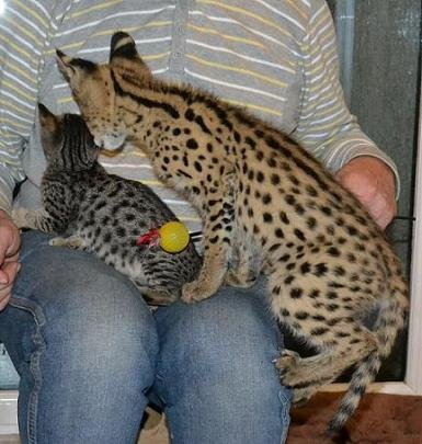 African Wild Cat For Sale Uk