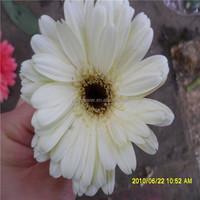 export fresh cut gerbera from the biggest flower trading center in China