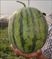 HY high round and middle maturity watermelon seed for sale