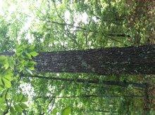 American Black Walnut Logs