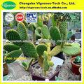 Hoodia cactus polvo/hoodia cactus extracto en polvo/en polvo cactus hoodia