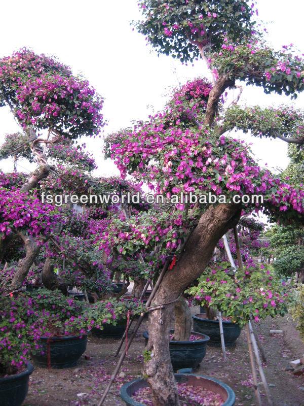 Spectabilis bouganville piante di fioritura id prodotto for Bougainvillea bonsai prezzo