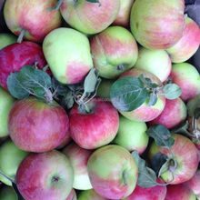 Best Sale New Crop Xiahong Apple With Low Price