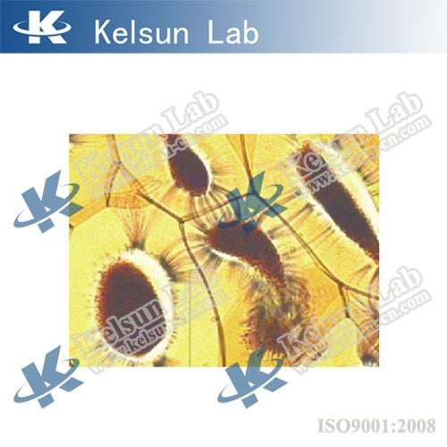 KS-08 Testis of frog T.S.