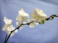 CYM40 Fancy Pure white with Big lace lip medium Wedding Butterfly orchid in Taiwan