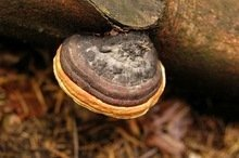 100% Natural Phellinus Lgniarius Extract,fruit and mycelium