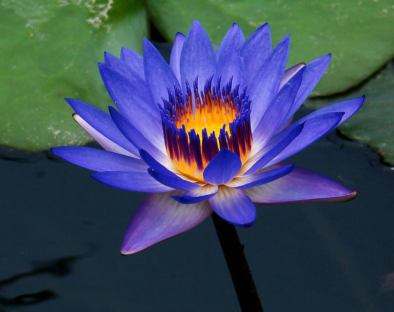 blue lotus flower in water  klejonka, Beautiful flower