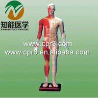 BIX-Y1003 170 cm The standard needle acupuncture point model