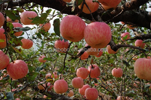 Hot Sale Red Kashmir Style China Fuji Apple