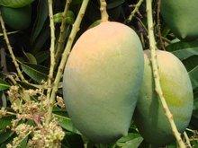 Fresh Keasr Mango