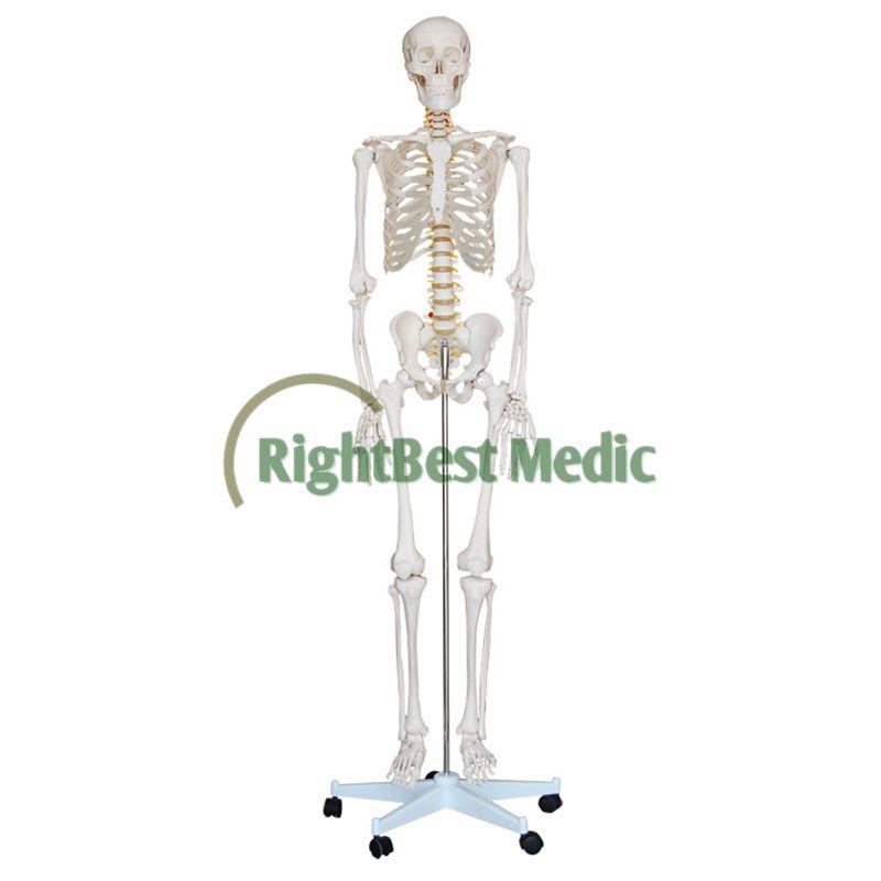 Human Skeleton Model Teaching Human Life Size Skeleton Human