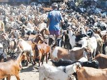 Healthy Live Goats for sale
