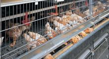 international standard chicken farm equipment/bird cages/ galvanized chicken coop made in anping HJ-HC60