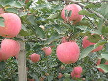red delicious fuji apple