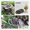 Coriolus Versicolor Polysaccharide 30%/Coriolus Versicolor Extract Powder